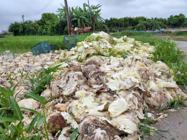 高雄市梓官區有民眾20日將數車受損的高麗菜倒在農田做堆肥,梓官區農會供銷部表示,初步了解是業者進貨後,因銷路差加上冷藏受損才做堆肥。(民眾提供)