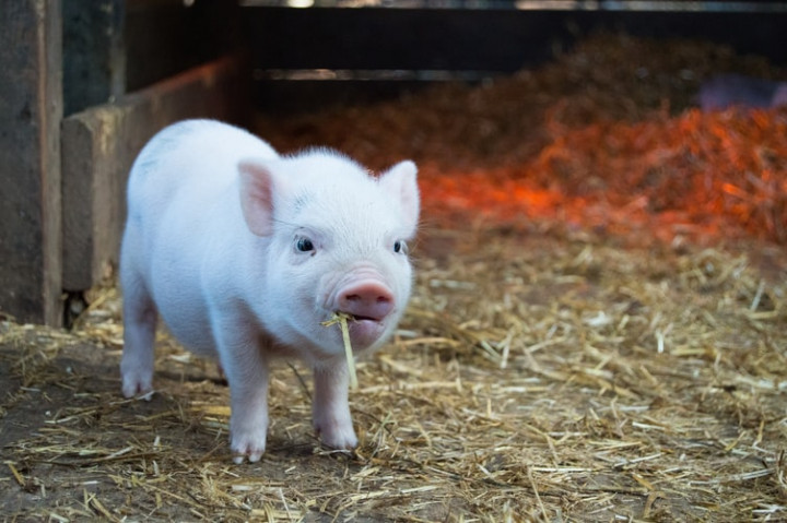 Taiwan bans pork products from Dominican Republic