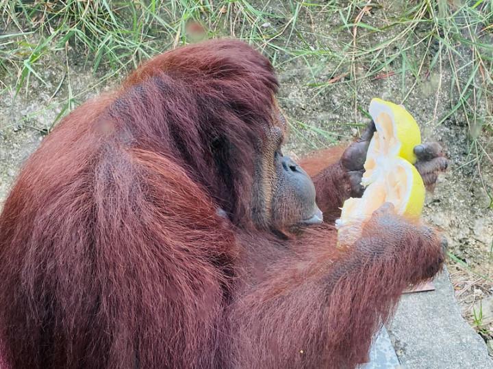 高雄壽山動物園的動物們過中秋,園方準備應景的柚子讓動物體驗,並透過臉書粉專分享動物們吃柚子的可愛模樣。(高雄市觀光局提供)