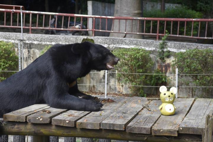 高雄壽山動物園準備中秋節應景的柚子,透過臉書粉專分享動物們吃柚子的可愛模樣,園方為黑熊「波比」提供整顆柚子,讓牠自行剝皮。(高雄市觀光局提供)