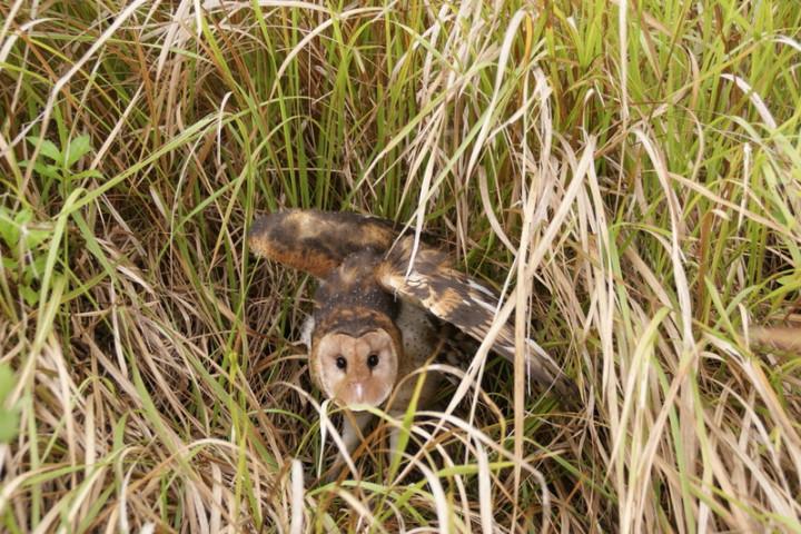 草鶚被戲稱為「會飛的蘋果」,多活動於台灣西南部淺山地帶,草鴞白天有時會隱藏在高草叢的地面休息。(洪福龍提供)