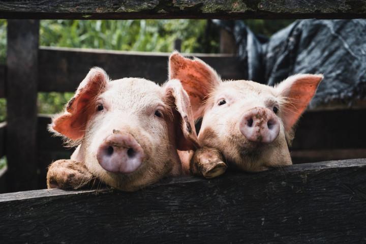 農委會副主委黃金城14日表示,為防堵非洲豬瘟,養豬場規模200頭以上、採3段式污水處理,才可繼續廚餘養豬 (示意圖/翻攝自Unsplash)