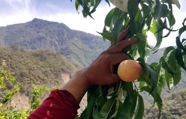 台東果農為了抗旱一改過去噴灑澆水的方式,改採在樹頭「滴灌」,意外發現,不僅節水,旁邊的雜草也不會喝到水,抑制生長,創造雙贏。