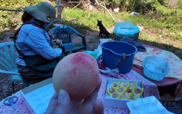 乾旱未見好轉,又有獼猴直奔入果園準備搶摘,儘管生長環境困苦,台東的水蜜桃還是甜蜜上市,品質不受影響。