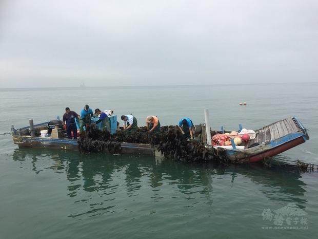 金門縣水產試驗所人員出海採收新鮮海帶,立即運往水試所開賣。民眾表示,海帶新鮮乾淨,讓人吃得放心,每年都要來採購。