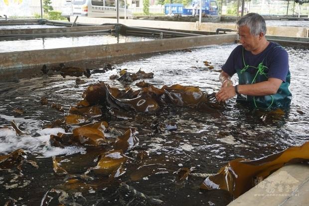 金門縣水產試驗所人員出海採收新鮮海帶,由水試所人員火速送往金城鎮水試所,在水池清洗整理後分裝,等待民眾採購。