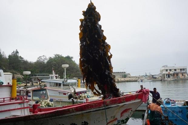 金門縣水產試驗所人員出海採收新鮮海帶,漁民和水試所人員齊力拉起纜繩,一串串海帶浮出水面後,立刻切斷苗繩,順利採收一大片海帶。