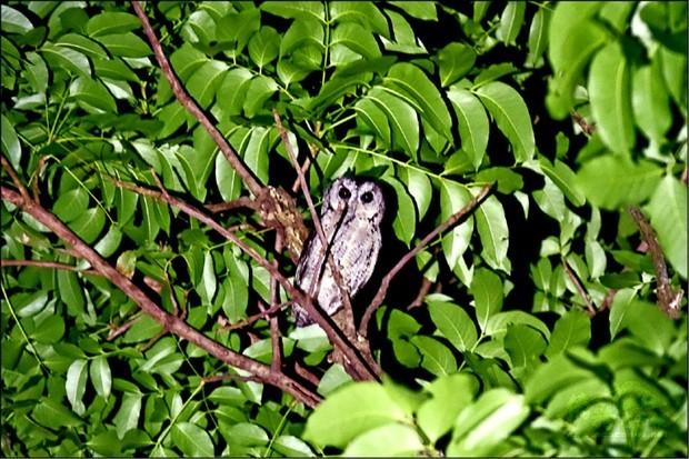 從樹林中尋找並看到貓頭鷹的當下,大家非常興奮。(自由時報提供)