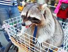 A pet raccoon named Mantou sits in a basket in front of its owner's bicycle at a bicycle rental shop at Taichung's Houfeng Bikeway on Sunday./Photo courtesy of Taipei Times