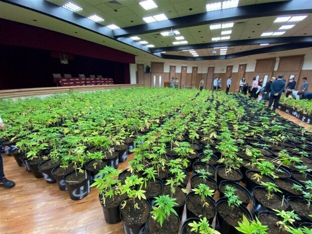 Taiwan's largest-ever haul of cannabis plants seized in Hsinchu